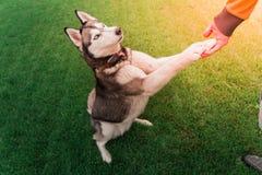 Γεροδεμένο σκυλί που στέκεται σε 2 πόδια που κρατούν το χέρι ατόμων ` s Φιλικό λι σκυλιών Στοκ Εικόνες