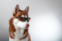 Γεροδεμένο σκυλί στα προστατευτικά δίοπτρα σκι Στοκ φωτογραφία με δικαίωμα ελεύθερης χρήσης