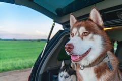 Γεροδεμένο σκυλί στον κορμό οχημάτων 100f 2 θερινό velvia ταινιών fujichrome nikon s βραδιού φ φωτογραφικών μηχανών 8 28 301 AI Στοκ εικόνες με δικαίωμα ελεύθερης χρήσης
