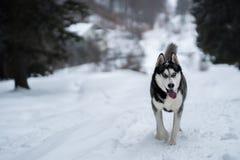 Γεροδεμένο σκυλί στο χιόνι που έχει τη διασκέδαση στοκ φωτογραφία