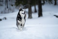 Γεροδεμένο σκυλί στο χιόνι που έχει τη διασκέδαση στοκ εικόνες