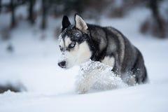 Γεροδεμένο σκυλί στο χιόνι που έχει τη διασκέδαση στοκ εικόνες με δικαίωμα ελεύθερης χρήσης
