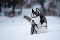 Γεροδεμένο σκυλί στο χιόνι που έχει τη διασκέδαση στοκ εικόνα