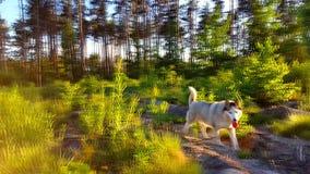 γεροδεμένο τρέξιμο στο λιβάδι κοντά στο δάσος φιλμ μικρού μήκους