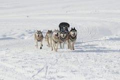 Γεροδεμένα σκυλιά ελκήθρων που τρέχουν στο χιόνι Στοκ Εικόνα