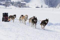 Γεροδεμένα σκυλιά ελκήθρων που τρέχουν στο χιόνι Στοκ Εικόνες