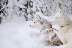 Γεροδεμένα σκυλιά Στοκ Εικόνες