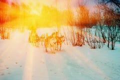 Γεροδεμένα σκυλιά Στοκ εικόνα με δικαίωμα ελεύθερης χρήσης