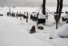 Γεροδεμένα σκυλιά Στοκ φωτογραφία με δικαίωμα ελεύθερης χρήσης