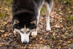 Γεροδεμένη κινηματογράφηση σε πρώτο πλάνο σκυλιών μπλε ματιών σιβηρική που εξετάζει το βλέμμα καμερών στη φύση Στοκ φωτογραφία με δικαίωμα ελεύθερης χρήσης