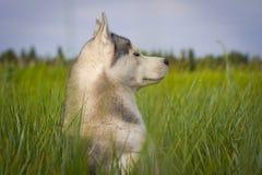γεροδεμένος Σιβηριανός Στοκ Φωτογραφία