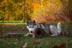 γεροδεμένος Σιβηριανός Στοκ φωτογραφία με δικαίωμα ελεύθερης χρήσης