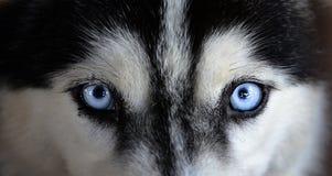 γεροδεμένος Σιβηριανός Στοκ εικόνες με δικαίωμα ελεύθερης χρήσης