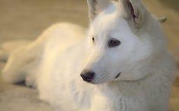 γεροδεμένος Σιβηριανός στοκ φωτογραφίες με δικαίωμα ελεύθερης χρήσης