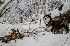 γεροδεμένος Σιβηριανός Στοκ εικόνα με δικαίωμα ελεύθερης χρήσης