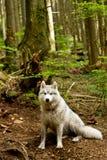 Γεροδεμένος στο δάσος Στοκ Φωτογραφία