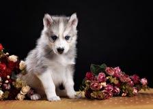Γεροδεμένο κουτάβι σκυλιών ενός μήνα στο μαύρο υπόβαθρο Στοκ Εικόνες