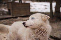 Γεροδεμένο σιβηρικό ζώο σκυλιών Στοκ εικόνα με δικαίωμα ελεύθερης χρήσης