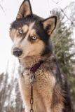 Γεροδεμένο σιβηρικό ζώο σκυλιών Στοκ φωτογραφίες με δικαίωμα ελεύθερης χρήσης
