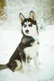 Γεροδεμένο σκυλί κουταβιών στο χιόνι Στοκ Εικόνα