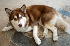 Γεροδεμένο σκυλί στο πάτωμα Στοκ Φωτογραφία