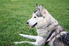 Γεροδεμένο σκυλί χαμόγελου Στοκ εικόνες με δικαίωμα ελεύθερης χρήσης