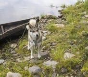 Γεροδεμένο σκυλί Στοκ φωτογραφίες με δικαίωμα ελεύθερης χρήσης