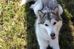 Γεροδεμένο σκυλί Στοκ Εικόνα