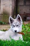 Γεροδεμένο σκυλί Στοκ φωτογραφία με δικαίωμα ελεύθερης χρήσης