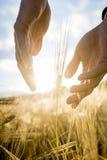 Γεωπόνος ή αγρότης που κοιλαίνει τα χέρια του γύρω από ένα αυτί του σίτου μέσα Στοκ Εικόνες