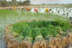 γεωργία Ινδός Στοκ φωτογραφίες με δικαίωμα ελεύθερης χρήσης