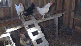 Γεωργία Κοτόπουλα και κόκκορες στο κοτέτσι κοτόπουλου απόθεμα βίντεο