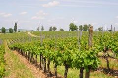 Γεωργία κρασιού στο Ρήνο -Ρήνος-hesse στην άνοιξη, Γερμανία Στοκ Εικόνα