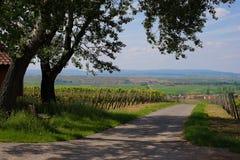 Γεωργία κρασιού στο Ρήνο -Ρήνος-hesse στην άνοιξη, Γερμανία Στοκ εικόνες με δικαίωμα ελεύθερης χρήσης