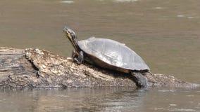 Γεωργία, πάρκο κολπίσκου Sweetwater, μια χρωματισμένη χελώνα σε έναν κολπίσκο Sweetwater σύνδεσης απόθεμα βίντεο