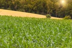 Γεωργία τομέων καλαμποκιού Αγροτική γεωργική γη το καλοκαίρι Αύξηση εγκαταστάσεων Στοκ Εικόνες
