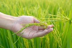 Γεωργία Χέρι που κρατά ήπια το νέο ρύζι με το θερμό φως του ήλιου Στοκ εικόνα με δικαίωμα ελεύθερης χρήσης