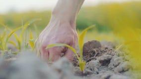 ΓΕΩΡΓΙΑ - Farmer που μαζεύει με το χέρι επάνω εγκαταστάσεις σίτου απόθεμα βίντεο