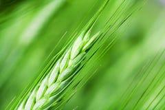 γεωργικά φυτά Στοκ εικόνες με δικαίωμα ελεύθερης χρήσης