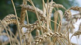 Γεωργικός αγροτικός ώριμος τομέας σίτου φιλμ μικρού μήκους