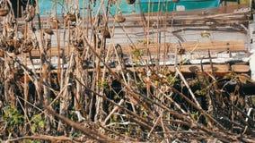 Γεωργικός συνδυάστε τις ξηρές συγκομιδές ηλίανθων συγκομιδών στον τομέα το φθινόπωρο φιλμ μικρού μήκους