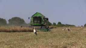 Γεωργικός συνδυάστε τις ώριμες ξηρές εγκαταστάσεις μπιζελιών συγκομιδών μηχανών απόθεμα βίντεο