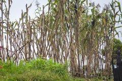Γεωργικός τομέας με το ξηρό καλαμπόκι στοκ φωτογραφία με δικαίωμα ελεύθερης χρήσης