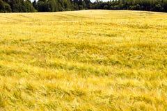 Γεωργικός τομέας, σίκαλη στοκ φωτογραφία με δικαίωμα ελεύθερης χρήσης