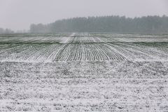 Γεωργικός τομέας του χειμερινού σίτου κάτω από το χιόνι και mistThe τις πράσινες σειρές του νέου σίτου στον άσπρο τομέα Στοκ εικόνα με δικαίωμα ελεύθερης χρήσης