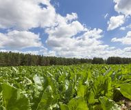 γεωργικό πεδίο πράσινο Στοκ φωτογραφία με δικαίωμα ελεύθερης χρήσης