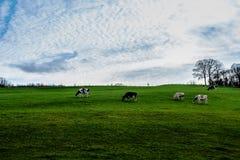 Γεωργικό τοπίο: κοπάδι των αγελάδων στο λιβάδι Στοκ Φωτογραφία