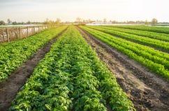 Γεωργικό τοπίο με τις φυτικές φυτείες Ανάπτυξη των οργανικών λαχανικών στον τομέα Αγροτική γεωργία Πατάτες και καρότο στοκ φωτογραφία με δικαίωμα ελεύθερης χρήσης