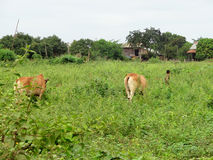 Γεωργικό τοπίο στην Ταϊλάνδη Στοκ Εικόνες
