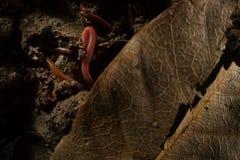 Γεωσκώληκες στο χώμα με τα ξηρά φύλλα Στοκ εικόνες με δικαίωμα ελεύθερης χρήσης